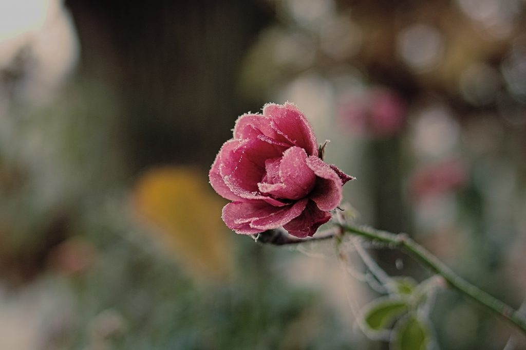 gefrorene-rose-002b-kl